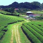 Mocchau Tea Plan
